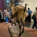 Photos: 名古屋市科学館「絶滅動物研究所」展 No - 64:ピレネーアイベックスの剥製