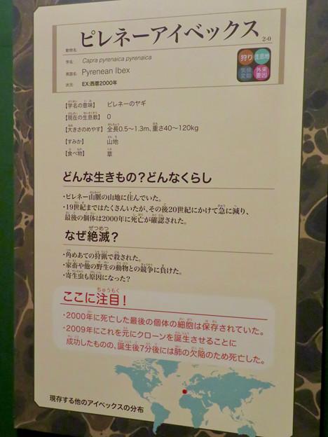 名古屋市科学館「絶滅動物研究所」展 No - 65:ピレネーアイベックスの説明