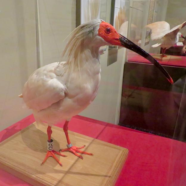 名古屋市科学館「絶滅動物研究所」展 No - 67:トキの剥製