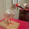 Photos: 名古屋市科学館「絶滅動物研究所」展 No - 67:トキの剥製
