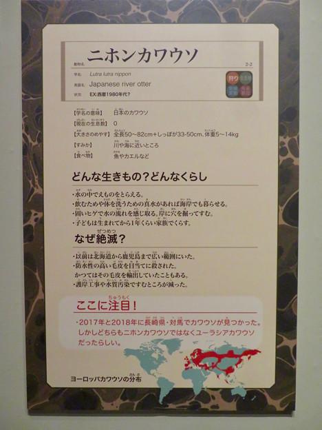 名古屋市科学館「絶滅動物研究所」展 No - 77:ニホンカワウソの説明