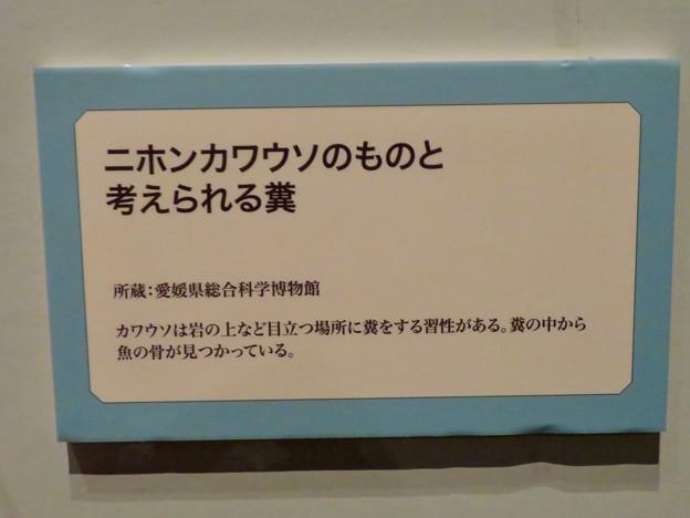 名古屋市科学館「絶滅動物研究所」展 No - 79:ニホンカワウソのものと考えられてる糞の説明