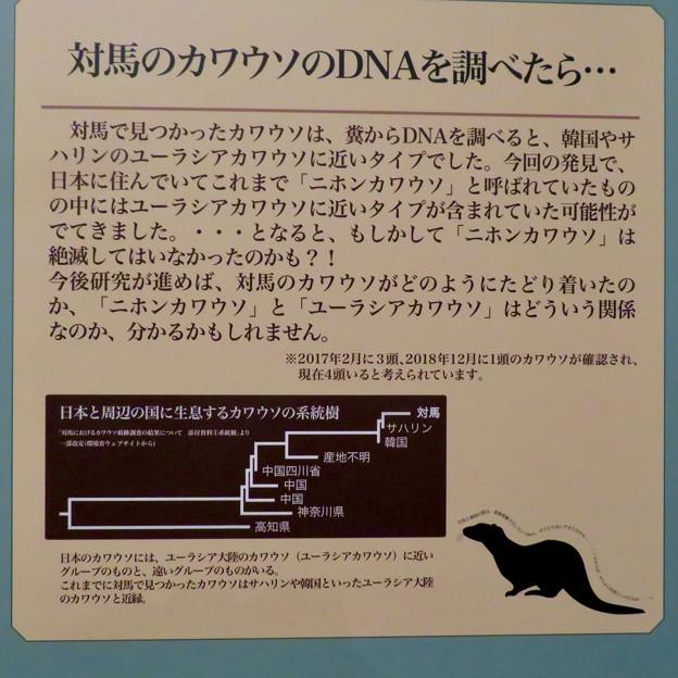 名古屋市科学館「絶滅動物研究所」展 No - 80:対馬のカワウソのDNA調査結果