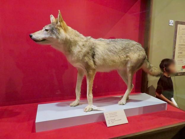 名古屋市科学館「絶滅動物研究所」展 No - 82:ニホンオオカミのコーナーに展示されてたチョウセンオオカミの剥製