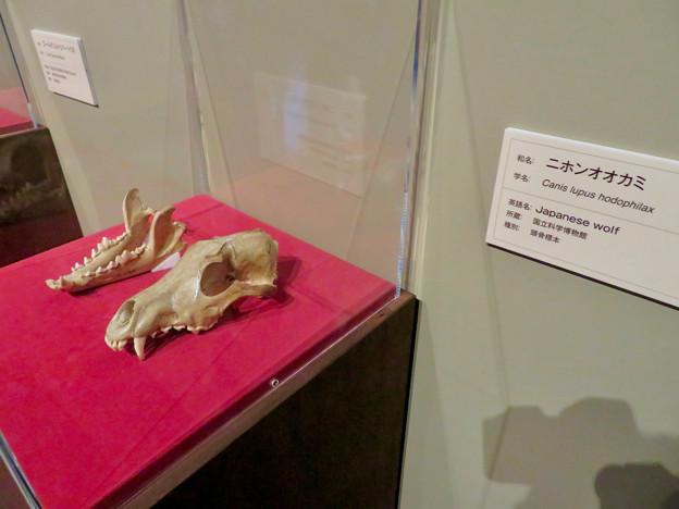 名古屋市科学館「絶滅動物研究所」展 No - 85:ニホンオオカミの骨