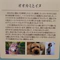 名古屋市科学館「絶滅動物研究所」展 No - 87:オオカミと犬の違い