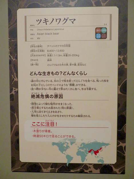 名古屋市科学館「絶滅動物研究所」展 No - 89:ツキノワグマの説明