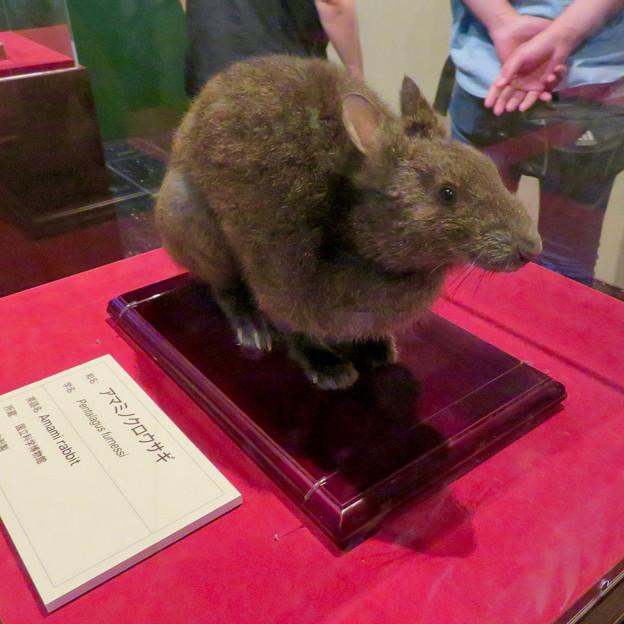 名古屋市科学館「絶滅動物研究所」展 No - 91:アマミノクロウサギの剥製