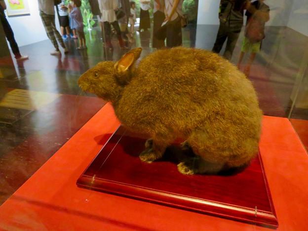 名古屋市科学館「絶滅動物研究所」展 No - 92:アマミノクロウサギの剥製