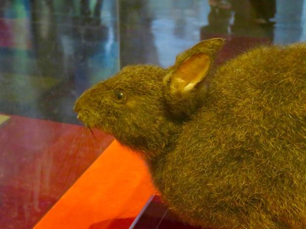 名古屋市科学館「絶滅動物研究所」展 No - 93:アマミノクロウサギの剥製(小さい耳)
