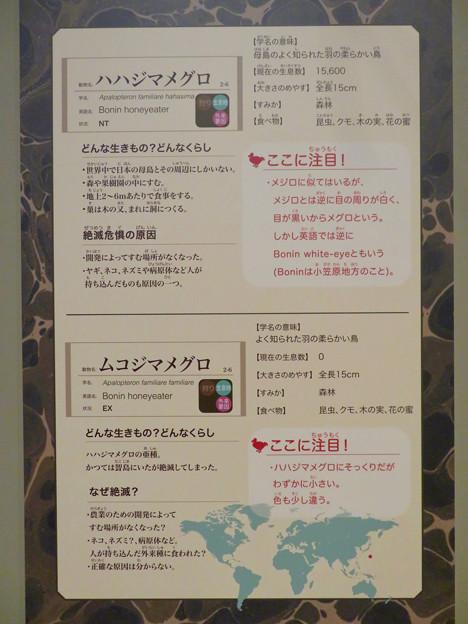 名古屋市科学館「絶滅動物研究所」展 No - 96:ハハジマメグロとムコジマメグロの説明