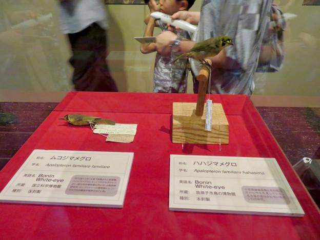 名古屋市科学館「絶滅動物研究所」展 No - 98:ハハジマメグロとムコジマメグロの剥製