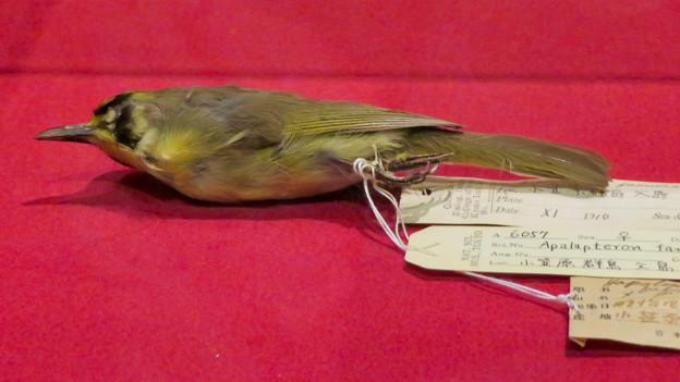 名古屋市科学館「絶滅動物研究所」展 No - 100:ムコジマメグロの仮剥製