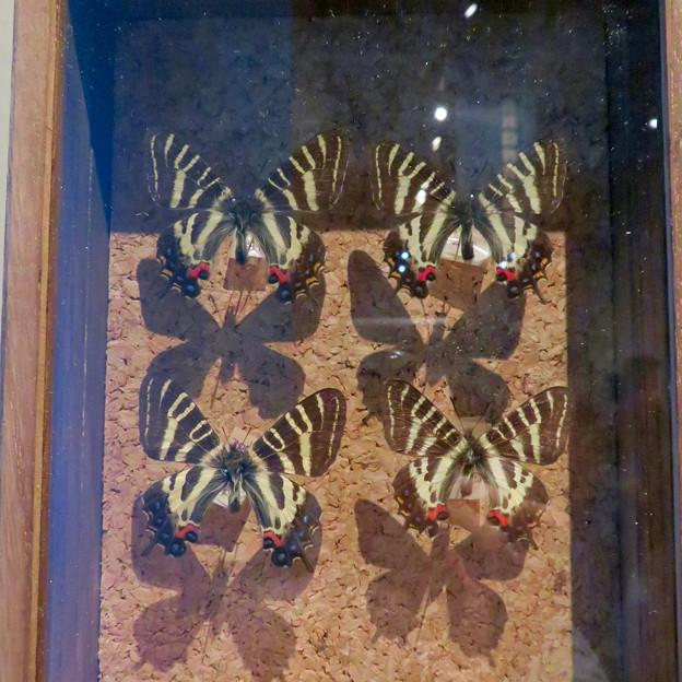 名古屋市科学館「絶滅動物研究所」展 No - 117:ギフチョウの標本