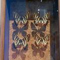 Photos: 名古屋市科学館「絶滅動物研究所」展 No - 117:ギフチョウの標本