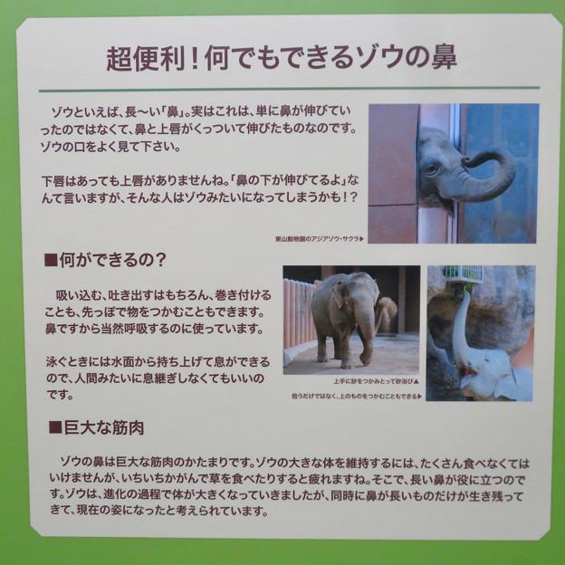 名古屋市科学館「絶滅動物研究所」展 No - 132:ゾウの鼻の説明
