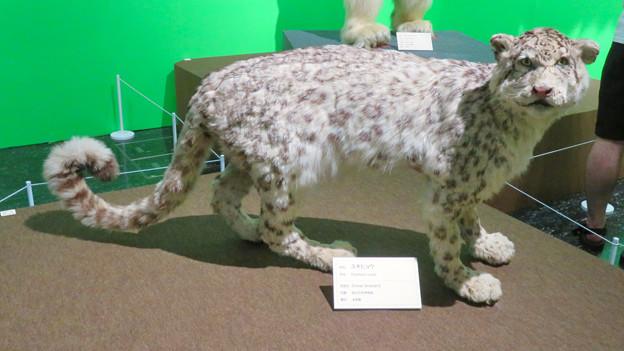 名古屋市科学館「絶滅動物研究所」展 No - 142:ユキヒョウの剥製