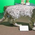 Photos: 名古屋市科学館「絶滅動物研究所」展 No - 142:ユキヒョウの剥製