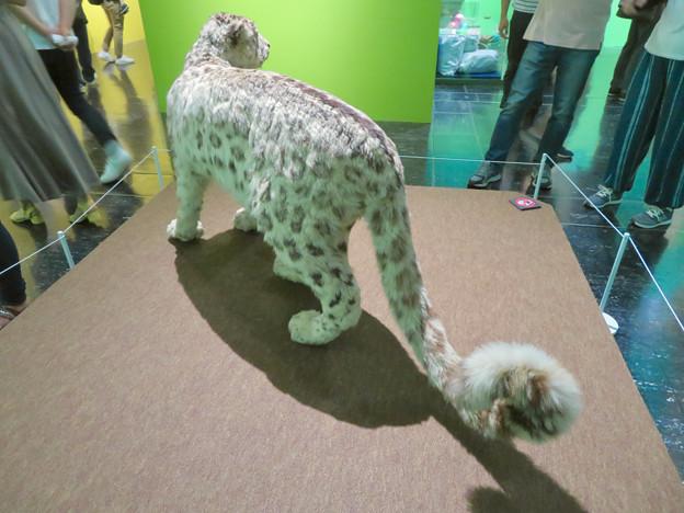 名古屋市科学館「絶滅動物研究所」展 No - 143:ユキヒョウの剥製