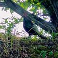 Photos: 木陰で休んでた?キジ - 4