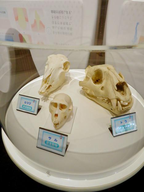 愛知県歯科医師会館「歯の博物館」No - 51:サルとヒツジとトラの頭蓋骨