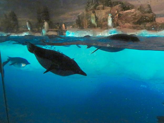 沢山のペンギンがいた名古屋港水族館(食事の時間) - 11:泳いでる背中から羽毛の間に貯まってた空気?