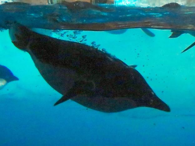 沢山のペンギンがいた名古屋港水族館(食事の時間) - 12:泳いでる背中から羽毛の間に貯まってた空気?