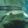 リニューアルしてた名古屋港水族館の「ウミガメ回遊水槽」 - 4