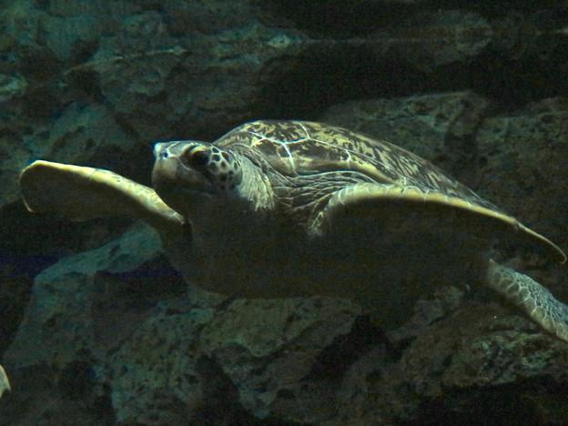 リニューアルしてた名古屋港水族館の「ウミガメ回遊水槽」 - 6