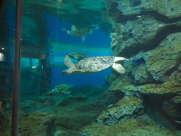 リニューアルしてた名古屋港水族館の「ウミガメ回遊水槽」 - 7