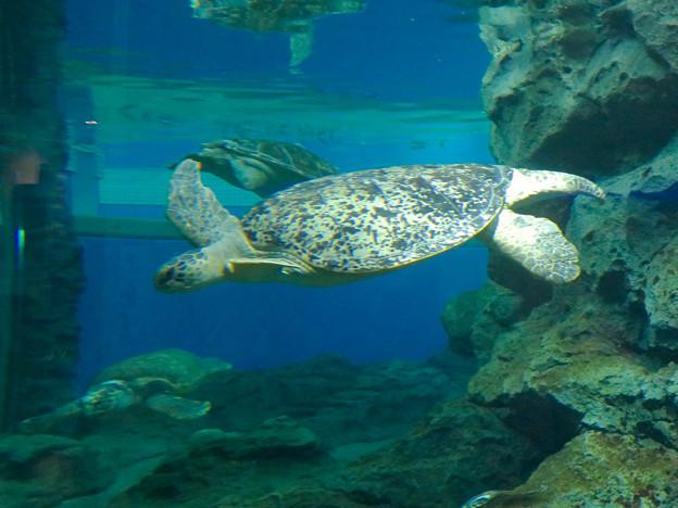リニューアルしてた名古屋港水族館の「ウミガメ回遊水槽」 - 8