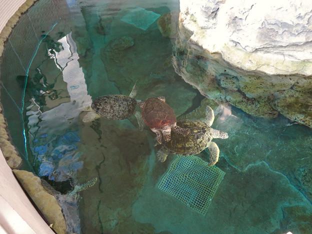 リニューアルしてた名古屋港水族館の「ウミガメ回遊水槽」 - 11