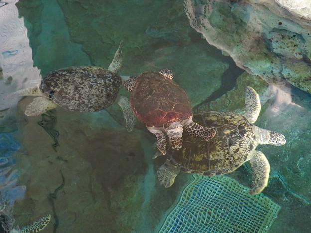 リニューアルしてた名古屋港水族館の「ウミガメ回遊水槽」 - 12