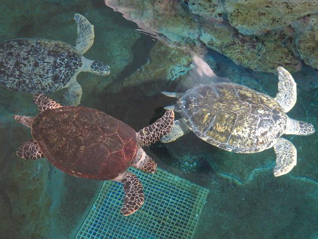 リニューアルしてた名古屋港水族館の「ウミガメ回遊水槽」 - 13