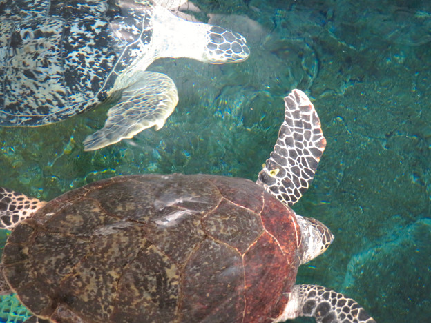 リニューアルしてた名古屋港水族館の「ウミガメ回遊水槽」 - 14