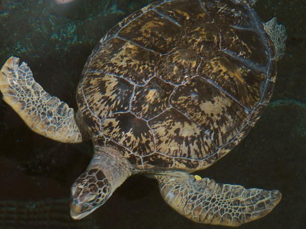 リニューアルしてた名古屋港水族館の「ウミガメ回遊水槽」 - 15
