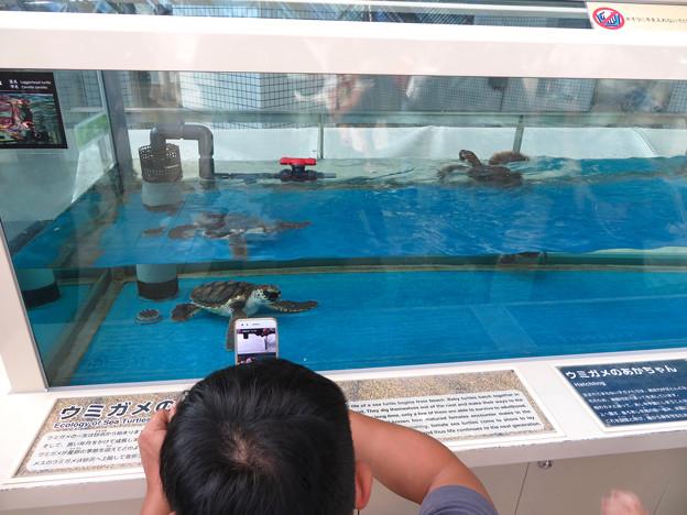 現在2歳の名古屋港水族館のアカウミガメの子ども - 1