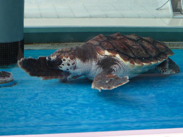 現在2歳の名古屋港水族館のアカウミガメの子ども - 2