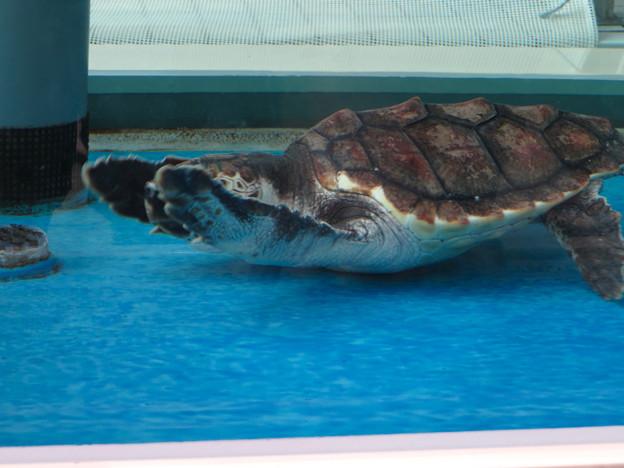 現在2歳の名古屋港水族館のアカウミガメの子ども - 3