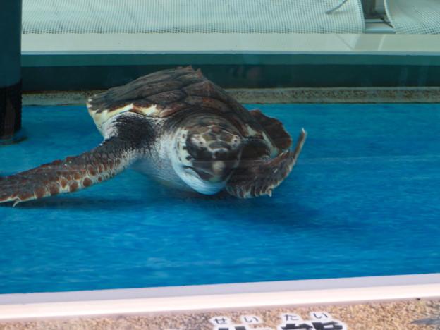 現在2歳の名古屋港水族館のアカウミガメの子ども - 4