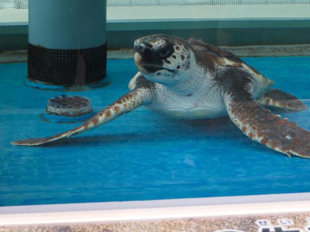 現在2歳の名古屋港水族館のアカウミガメの子ども - 5