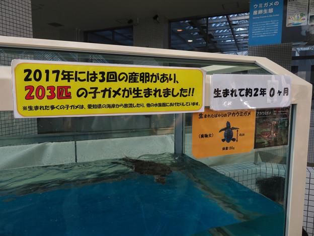 現在2歳の名古屋港水族館のアカウミガメの子ども - 6