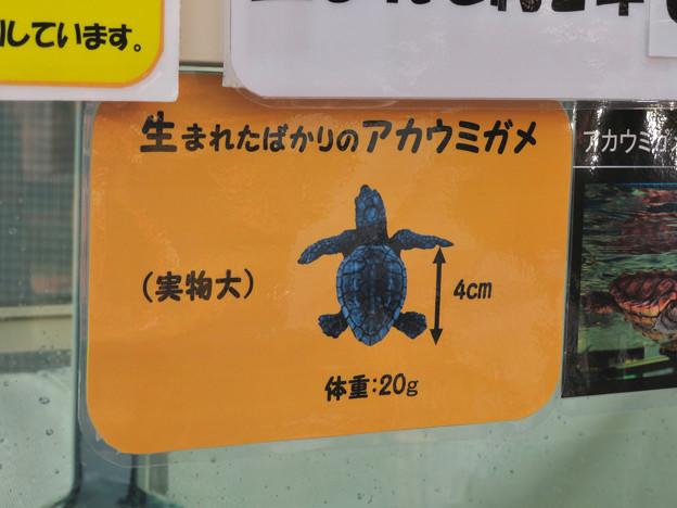 現在2歳の名古屋港水族館のアカウミガメの子ども - 7:生まれたばかりのアカウミガメ