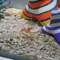 名古屋港水族館「カラフルコレクション ~絢爛華麗な水の生き物たち」展 - 4:可愛らしいエビ