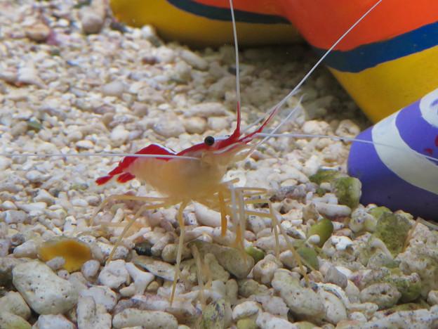 名古屋港水族館「カラフルコレクション ~絢爛華麗な水の生き物たち」展 - 5:可愛らしいエビ