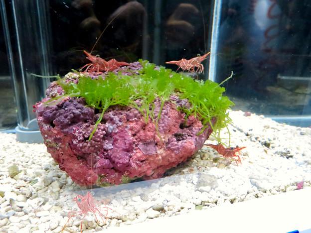 名古屋港水族館「カラフルコレクション ~絢爛華麗な水の生き物たち」展 - 6:紅白のスザクサラサエビ