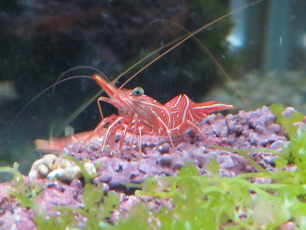 名古屋港水族館「カラフルコレクション ~絢爛華麗な水の生き物たち」展 - 7:紅白のスザクサラサエビ