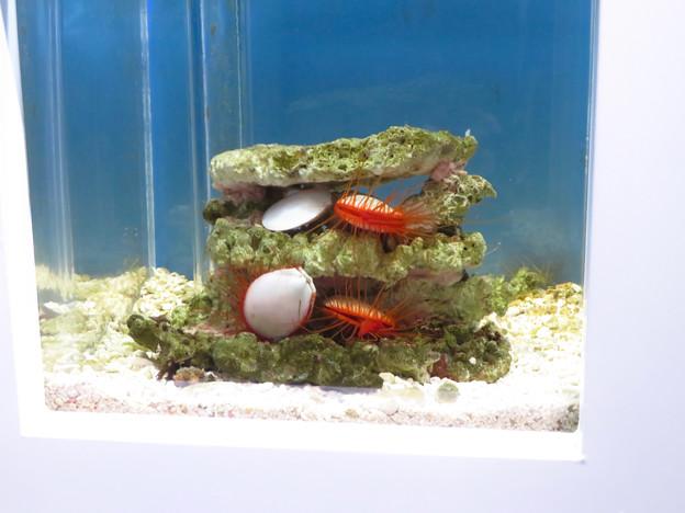 名古屋港水族館「カラフルコレクション ~絢爛華麗な水の生き物たち」展 - 10:赤いマスカラ付けたまつげのような毛が生えた?ウコンハネガイ