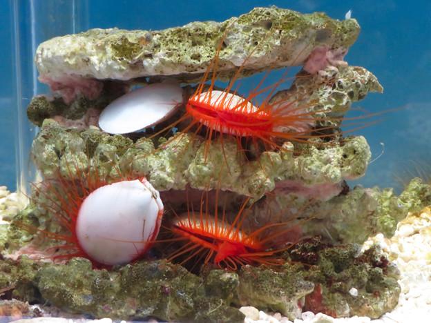 名古屋港水族館「カラフルコレクション ~絢爛華麗な水の生き物たち」展 - 11:赤いマスカラ付けたまつげのような毛が生えた?ウコンハネガイ