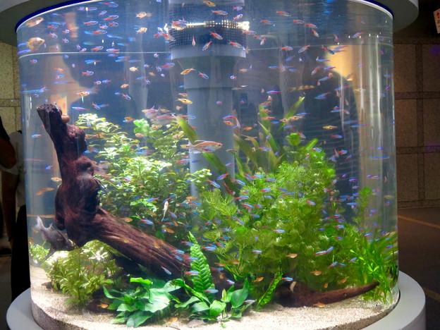 名古屋港水族館「カラフルコレクション ~絢爛華麗な水の生き物たち」展 - 14:ネオンテトラ